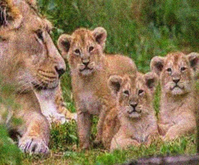 जानें इटावा सफारी पार्क में बढ़ने जा शेरों का बड़ा कुनबा