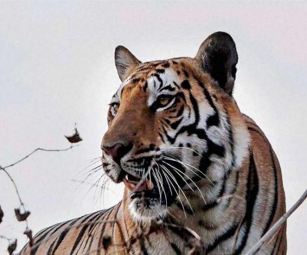 पीलीभीत में माला रेंज से निकले बाघों की दहशत, वन चौकी पर विश्राम कर गुरुद्वारा पहुंचा बाघ