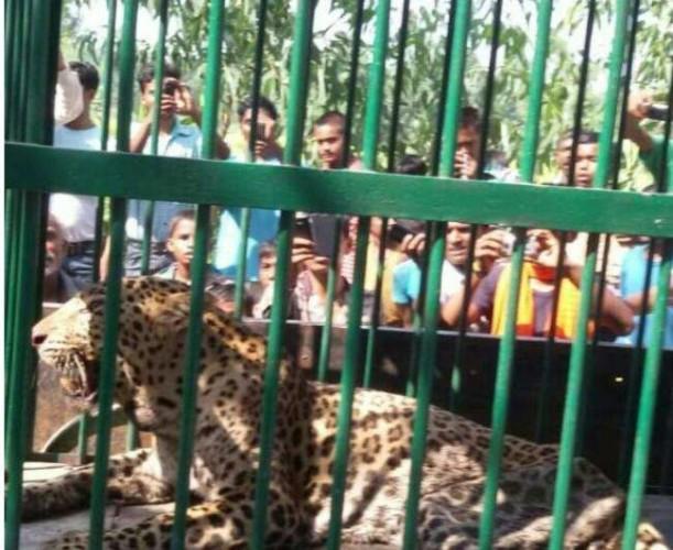 पीलीभीत मे डेढ़ दर्जन को निवाला बना चुका था तेंदुआ, पिंजरे में फंसा