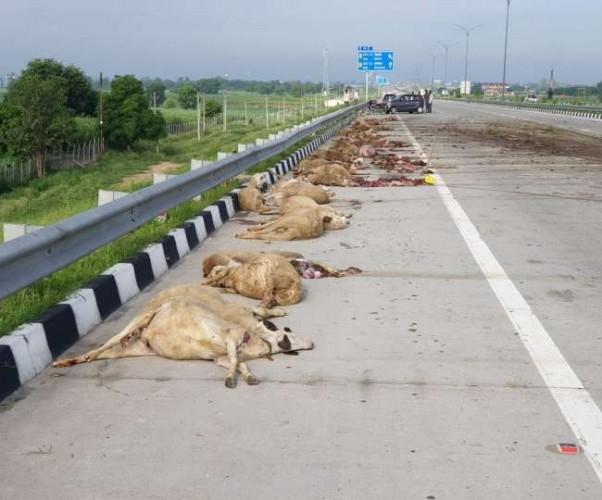 बागपत में ईस्टर्न पेरिफेरल एक्सप्रेस वे पर अज्ञात वाहनों ने भेड़ों को कुचला, 50 की मौत