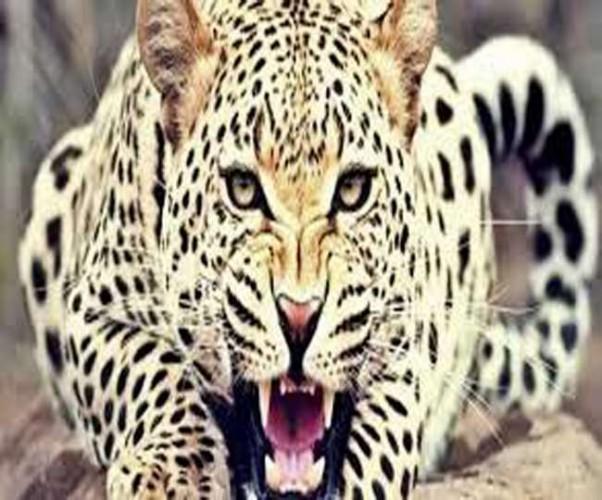 पीलीभीत में बाघ ने दो लोगों को बनाया निवाला, वन विभाग की टीम ने पकड़ा