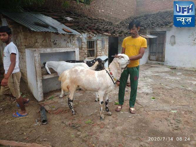 मौदहा -नारायच गांव में बकरा बना चर्चा का विषय