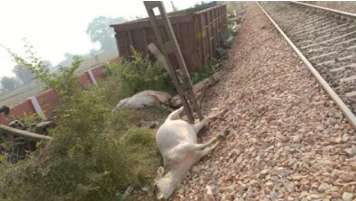 दिल्ली रेल मार्ग पर बड़ा हादसा टला 9 गोवंश की मौत।