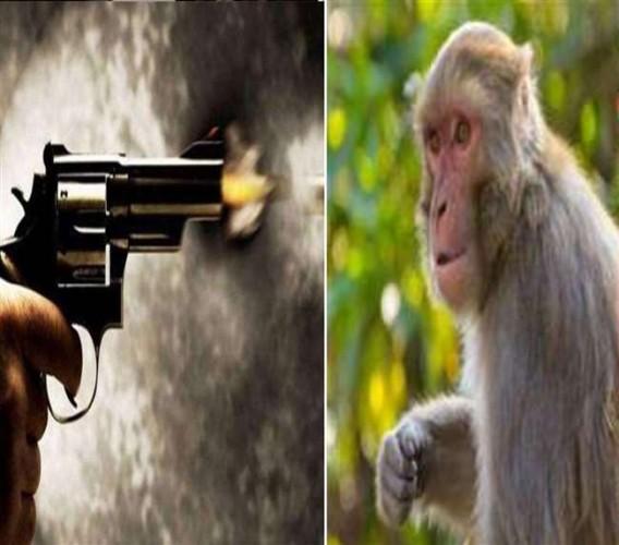भदोही में कालीन निर्यातक के पुत्रों ने बंदर को मारी गोली, शव का कराया पोस्टमार्टम