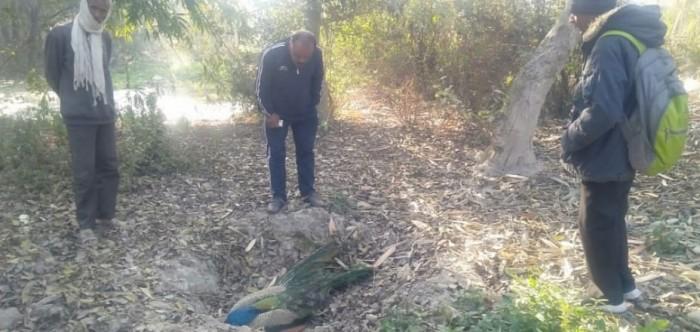 राष्ट्रीय पक्षियों की लगातार हो रही मौत,विभाग में मचा हड़कम्प