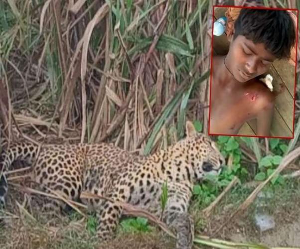 बहराइच में तेंदुए से जान बचाने को किशोर ने 5 मिनट तक किया संघर्ष