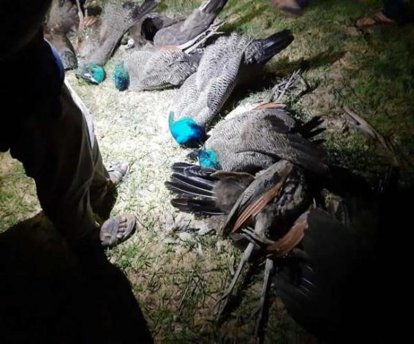 प्रतापगढ़ वन विभाग में मची खलबली,बाग में एक साथ 16 मोर मिले मृत